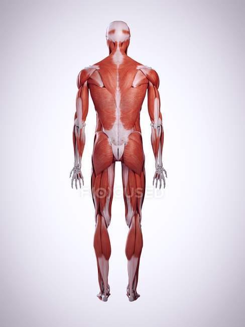 3D надані ілюстрація м'язи спини в організмі людини. — стокове фото