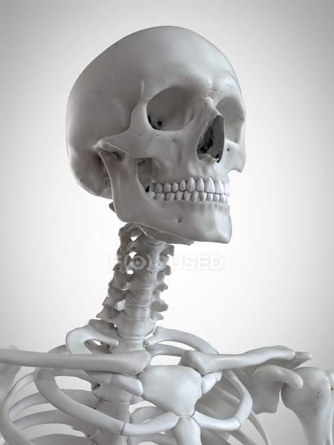 3d ilustração renderizada de cabeça e pescoço no esqueleto humano . — Fotografia de Stock
