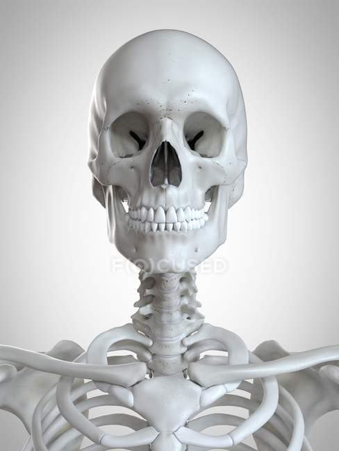 Ilustración 3d de cabeza y cuello en esqueleto humano . - foto de stock