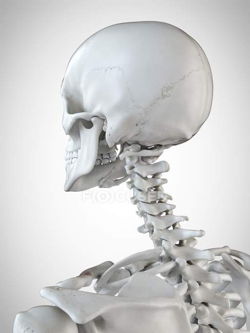 3d rendered illustration of the head and neck in human skeleton. — Stock Photo