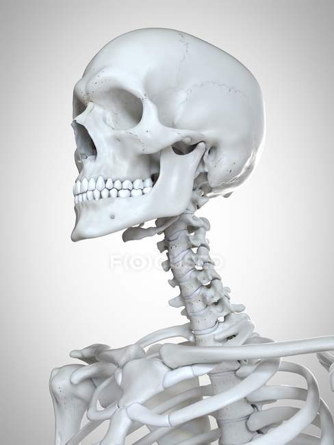 3d rendered illustration of head and neck in human skeleton. — стокове фото