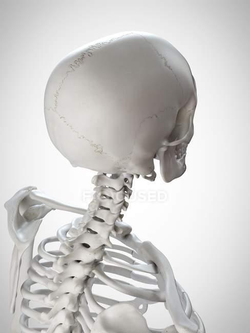 Illustrazione rendering 3D della testa e del collo in scheletro umano. — Foto stock