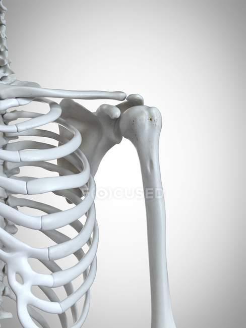 3d rendered illustration of shoulder bones in human skeleton. — Stock Photo
