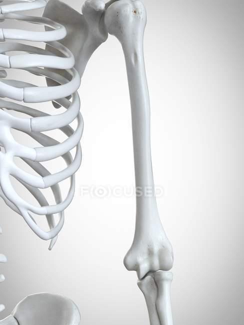 3d ilustración renderizada del húmero en el esqueleto humano . - foto de stock