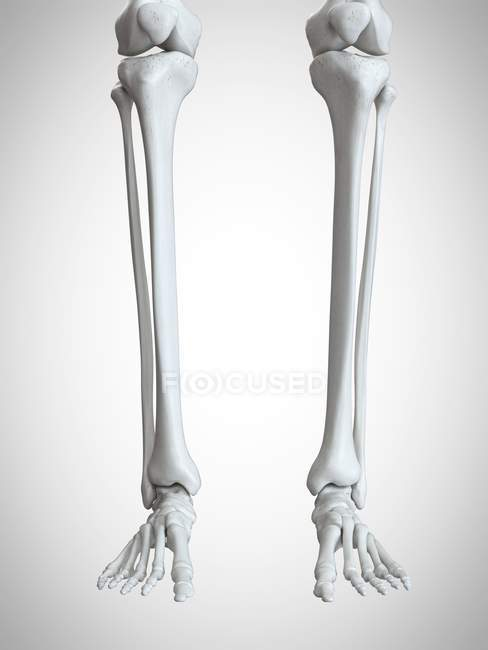 3d rendered illustration of lower legs and feet bones on white background. — стокове фото