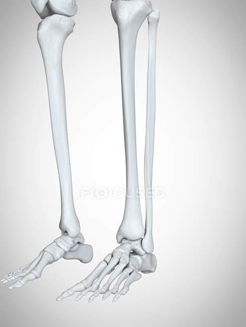 3d ilustración representada de las piernas y los huesos de los pies en el esqueleto humano . - foto de stock