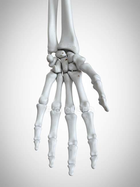 3d rendered illustration of hand bones in human skeleton