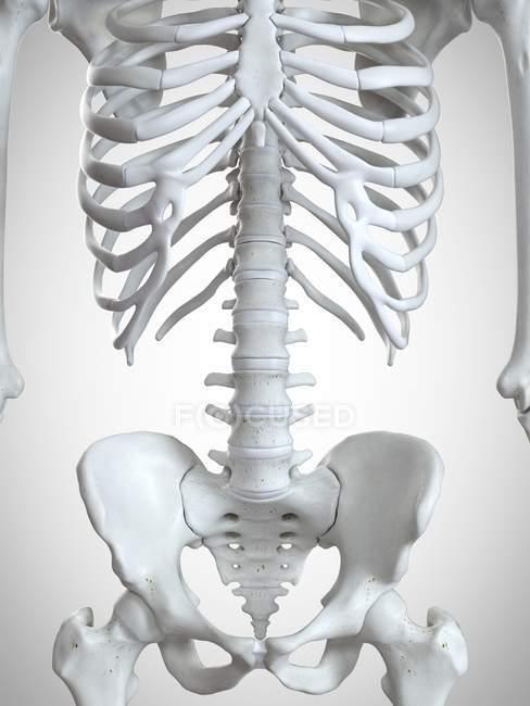 3d ilustración de los huesos del tórax en el esqueleto humano . - foto de stock