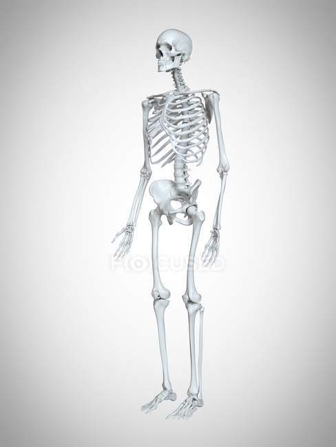 3d rendered illustration of human skeleton on grey