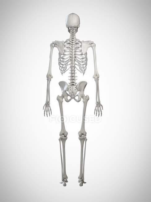3d representada ilustración del esqueleto humano en la vista trasera sobre fondo gris . - foto de stock