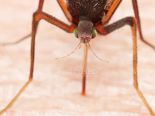 Illustrazione digitale di zanzare succhiare il sangue sulla pelle . — Foto stock