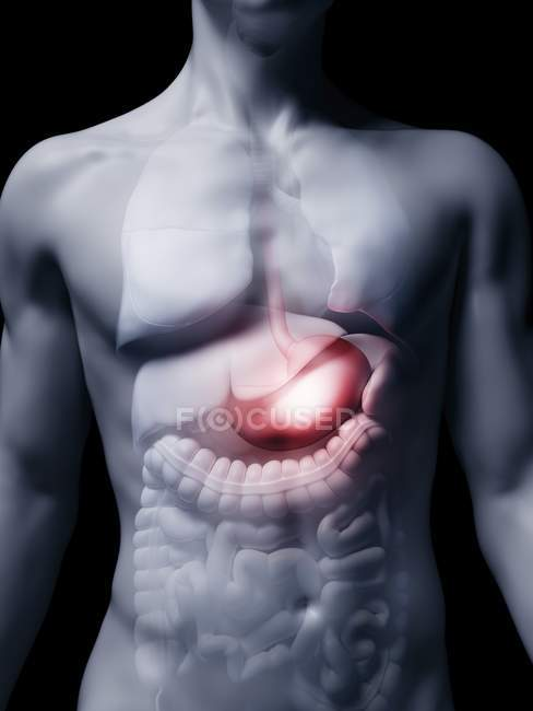 Ilustración del estómago humano en la silueta corporal . - foto de stock