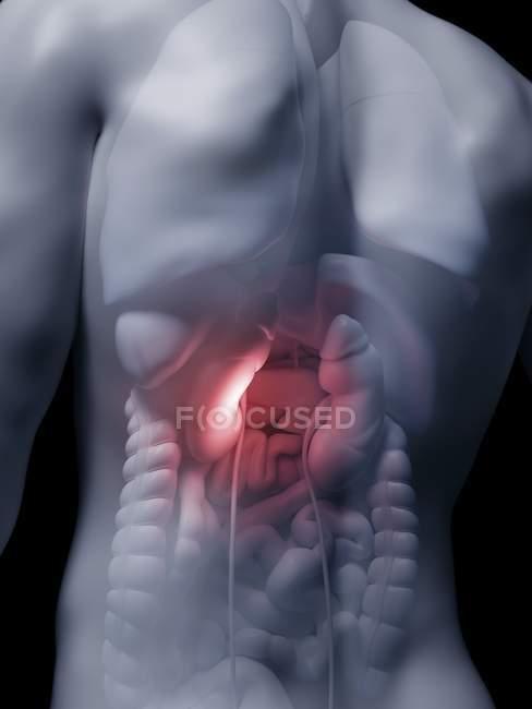 Ilustración de riñones humanos en silueta corporal . - foto de stock