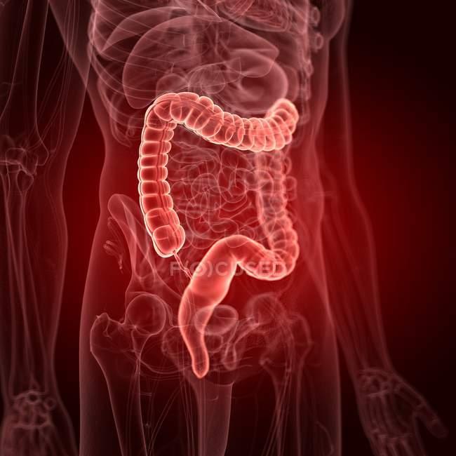 Ilustración del intestino grueso en la silueta del cuerpo humano . - foto de stock