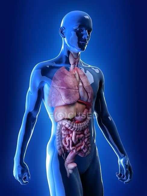 Illustrazione realistica degli organi interni maschili dell'apparato respiratorio e digestivo . — Foto stock