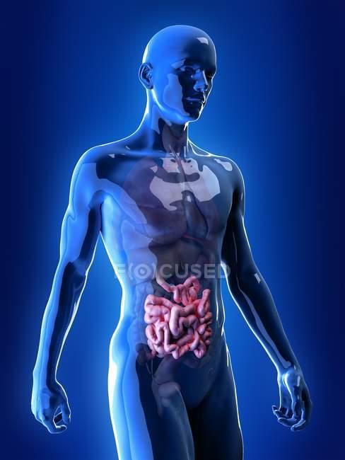 Ilustración del intestino delgado en la silueta del cuerpo humano . - foto de stock