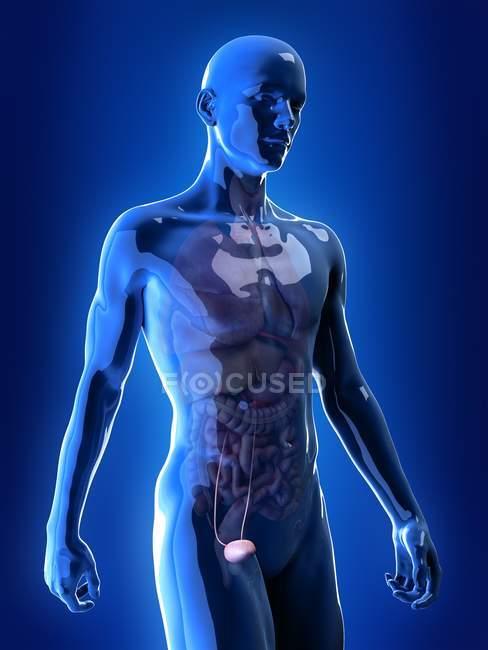Ilustración de la vejiga humana en la silueta corporal . - foto de stock