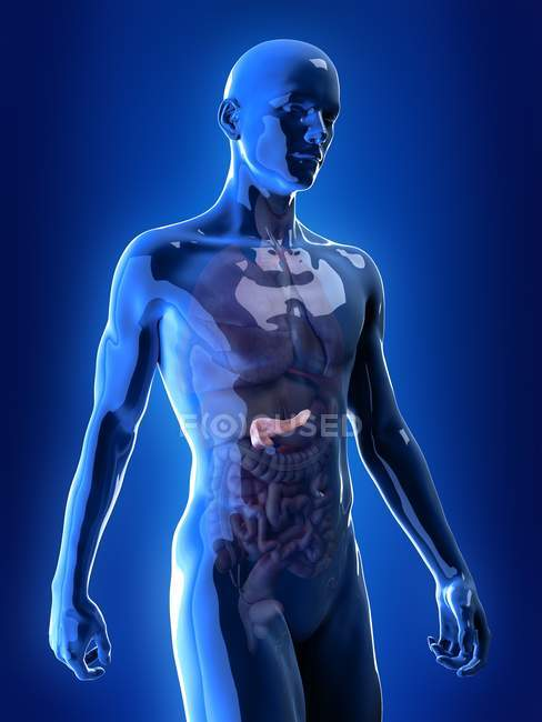 Ilustración del páncreas visible en la silueta del cuerpo humano . - foto de stock