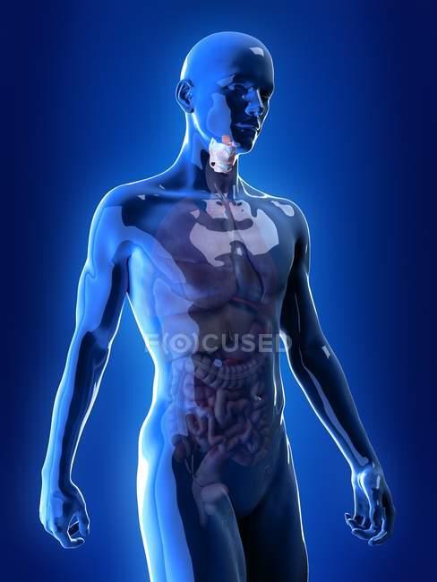 Ilustración de la laringe de color en el cuerpo humano transparente . - foto de stock