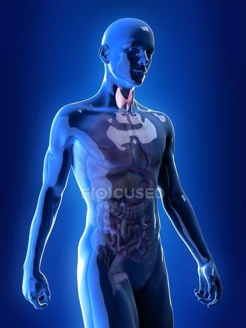Ilustración de la glándula tiroides visible en silueta masculina sobre fondo azul . - foto de stock