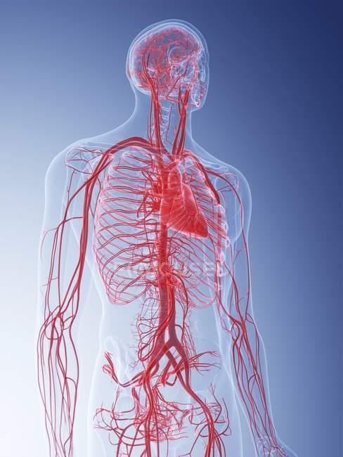 Ilustración del sistema vascular humano sobre fondo azul . - foto de stock