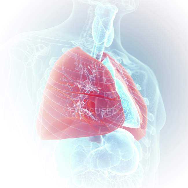 Ілюстрація видно кольорові легенів у прозорий людського тіла силует. — стокове фото