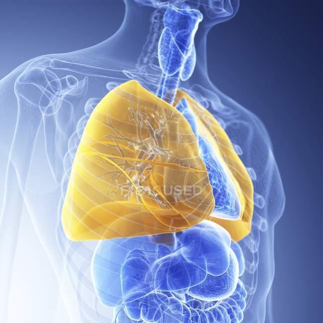 Ilustração de pulmões coloridos amarelos visíveis em silhueta de corpo humano transparente . — Fotografia de Stock