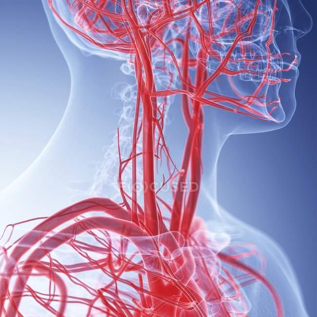 Ilustración médica de vasos sanguíneos del cuello humano . - foto de stock