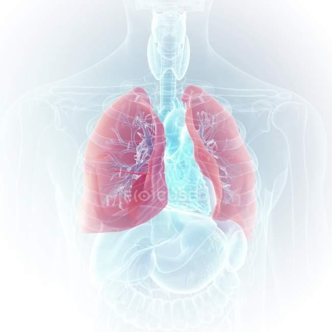 Illustrazione di polmoni colorati visibili nella silhouette trasparente del corpo umano . — Foto stock