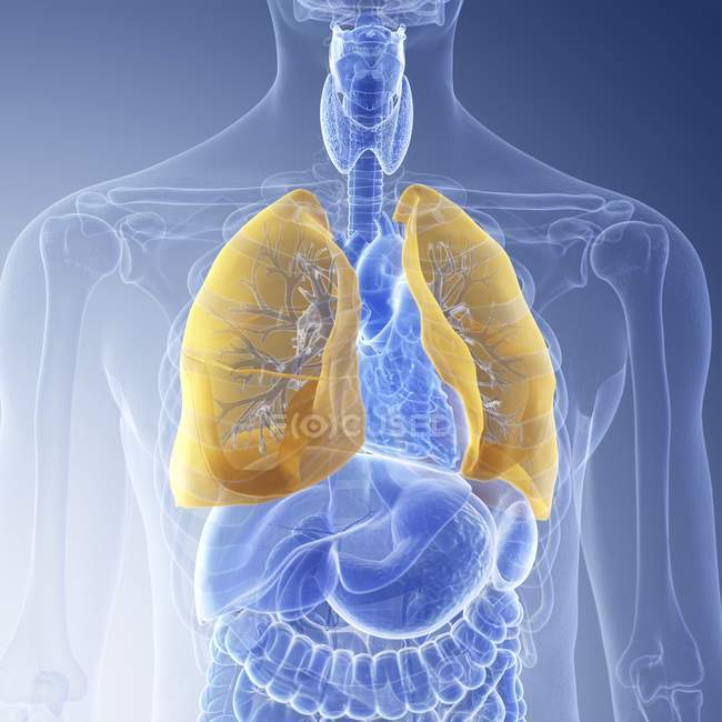 Illustration of visible yellow colored lungs in transparent human body silhouette. — Stock Photo