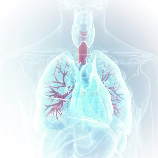 Illustrazione medica dei bronchi visibili nel corpo umano . — Foto stock