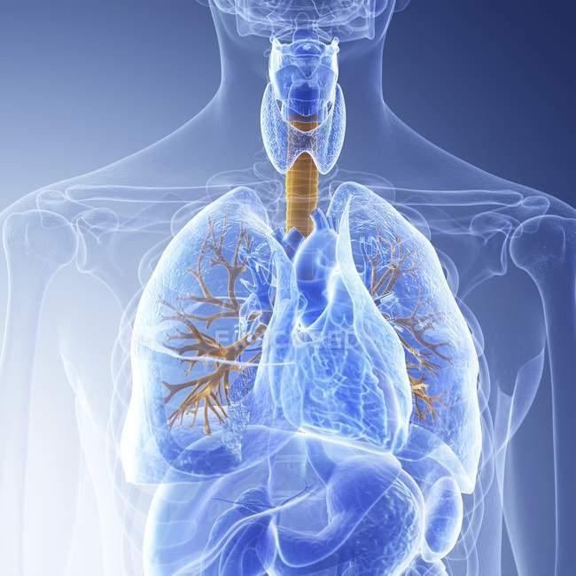 Медицинская иллюстрация видимых бронхов в организме человека . — стоковое фото