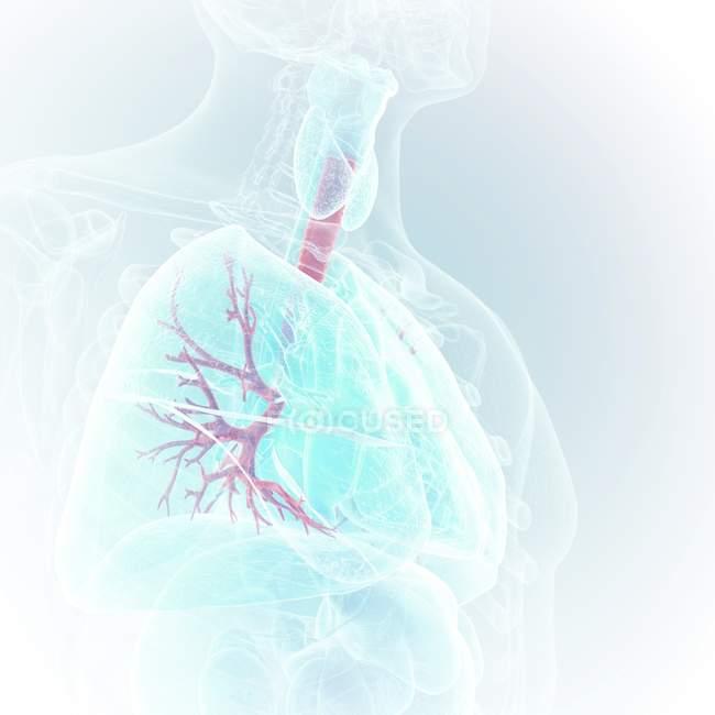 Medizinische Illustration sichtbarer Bronchien im menschlichen Körper. — Stockfoto