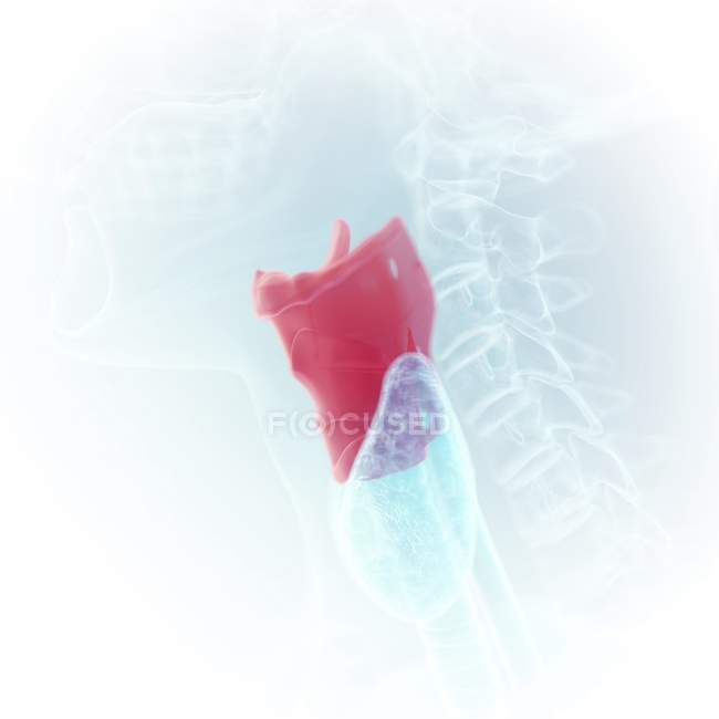 Illustration of colored larynx in transparent human body. — Stock Photo