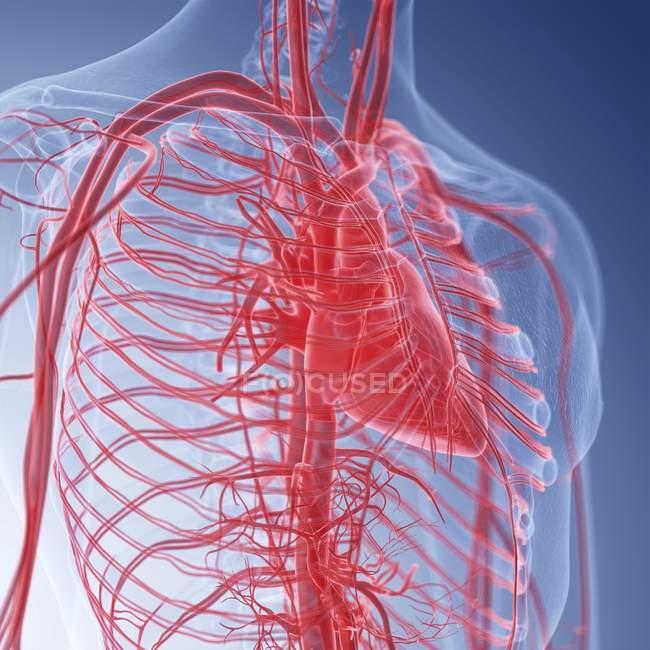Ilustração do coração humano na silhueta corporal . — Fotografia de Stock