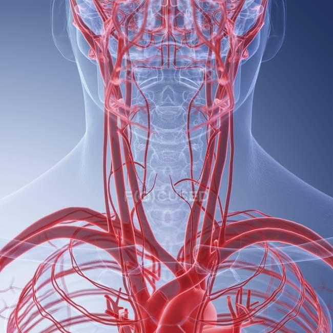 Медичні ілюстрація людини кровоносних судин шиї. — стокове фото