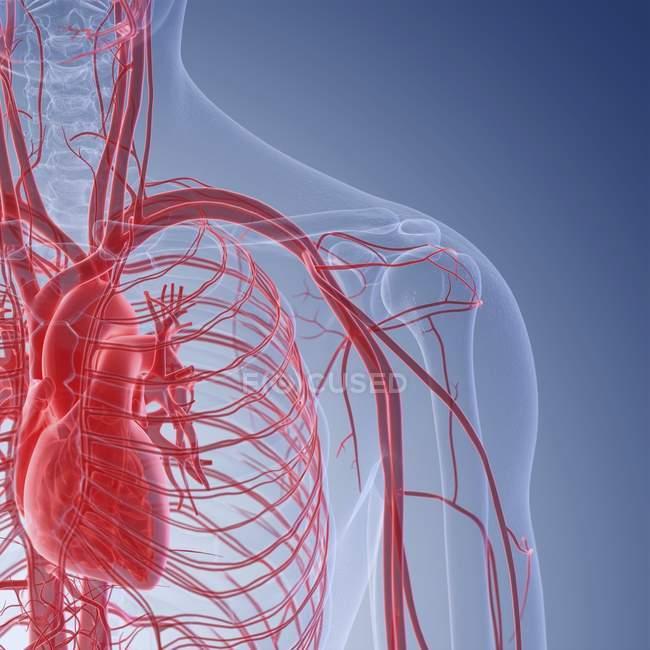 Ilustración médica de los vasos sanguíneos humanos del hombro . - foto de stock