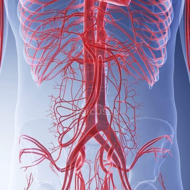 Ilustración médica de los vasos sanguíneos humanos del abdomen . - foto de stock
