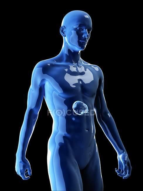 Ilustración del bazo humano en silueta corporal . - foto de stock
