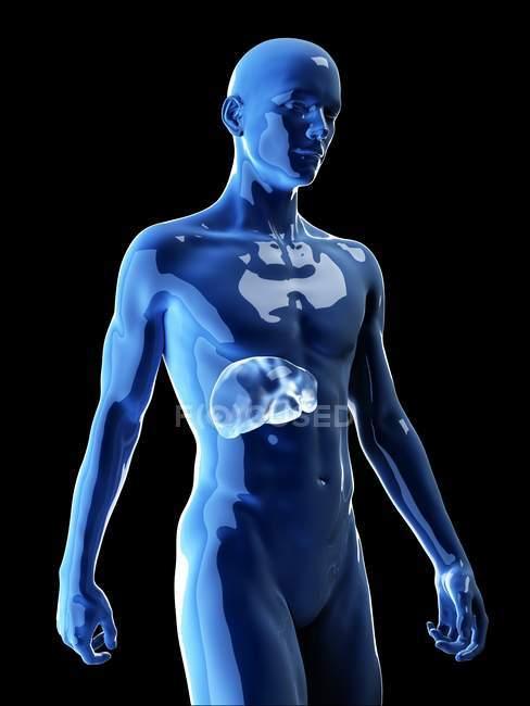 Ilustración del hígado humano en la silueta corporal . - foto de stock