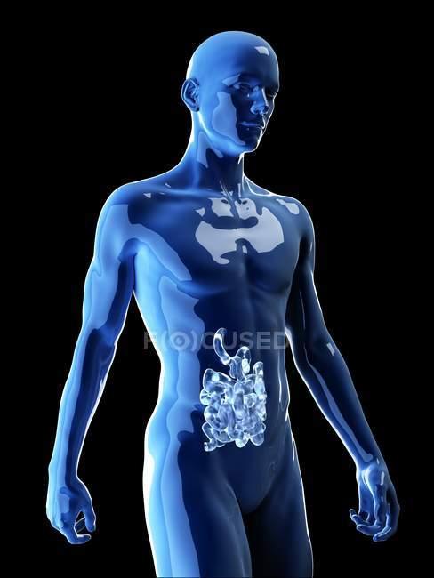 Ilustración del intestino delgado humano en la silueta corporal . - foto de stock