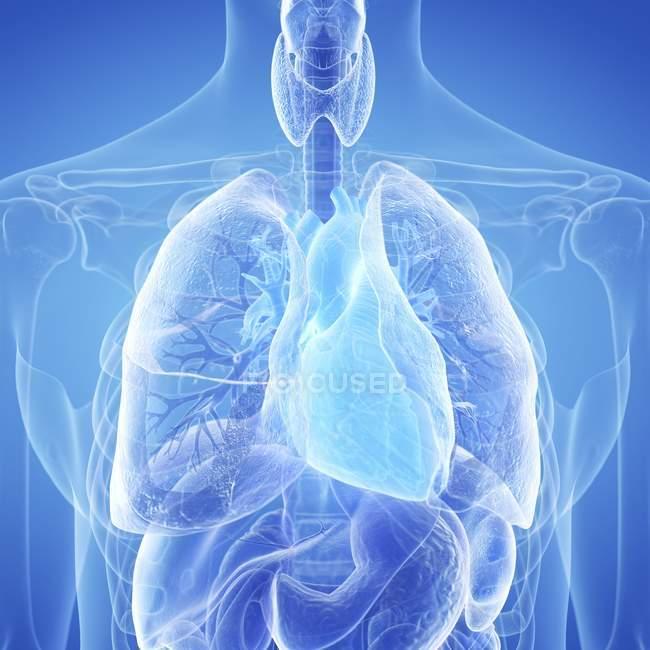 Ілюстрація людського серця у організму силует. — стокове фото