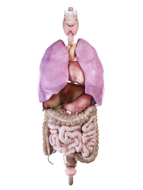 Ілюстрація органи людини на білому тлі. — стокове фото
