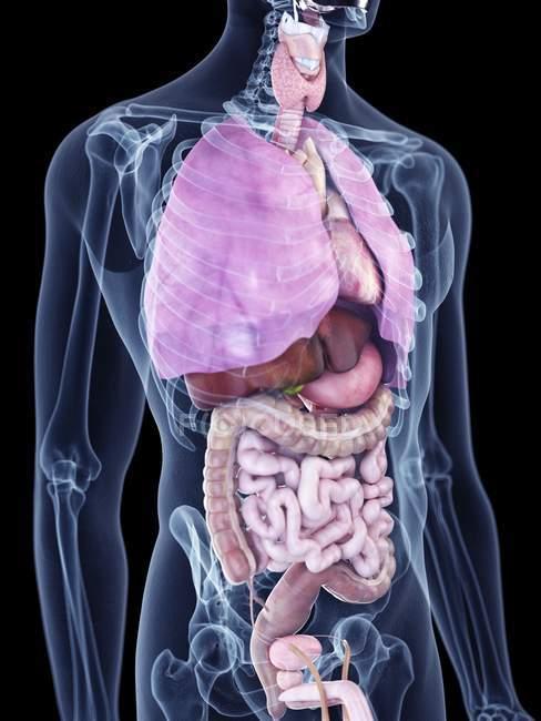Иллюстрация человеческих органов в силуэте тела . — стоковое фото