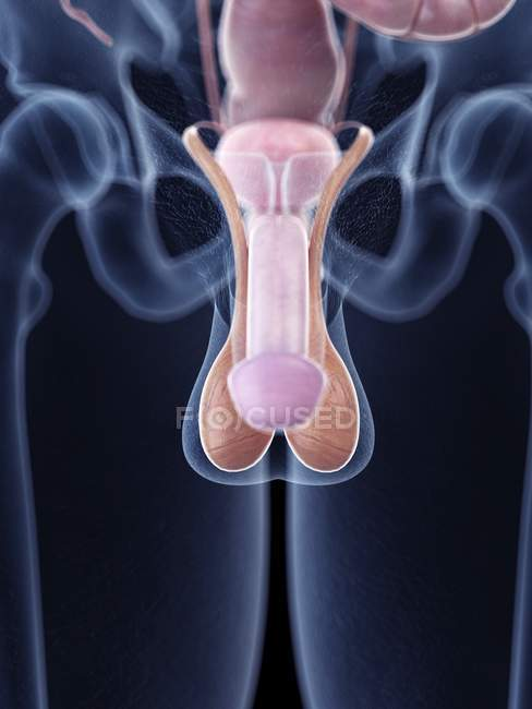 Medical illustration of penis anatomy in human body. — Stock Photo