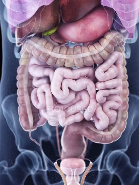 Ilustración de la anatomía abdominal humana en la silueta corporal . - foto de stock