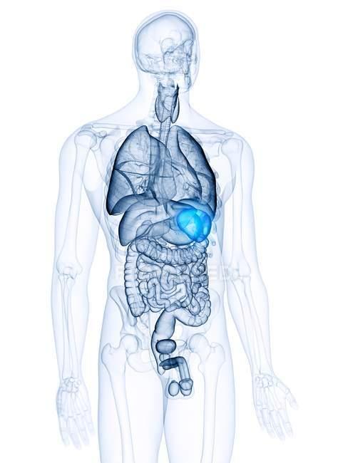 Ilustración médica del bazo visible en el cuerpo humano . - foto de stock