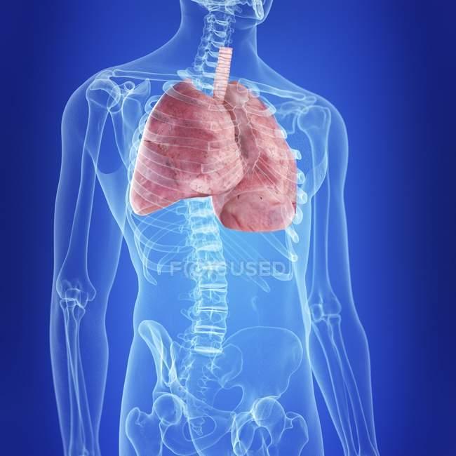 Illustrazione dei polmoni umani nella silhouette del corpo . — Foto stock