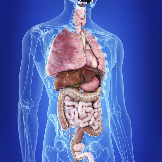 Illustrazione degli organi umani nella silhouette del corpo . — Foto stock