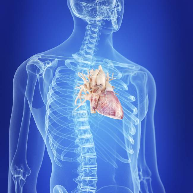 Ilustración del corazón sano en la silueta del cuerpo humano . - foto de stock